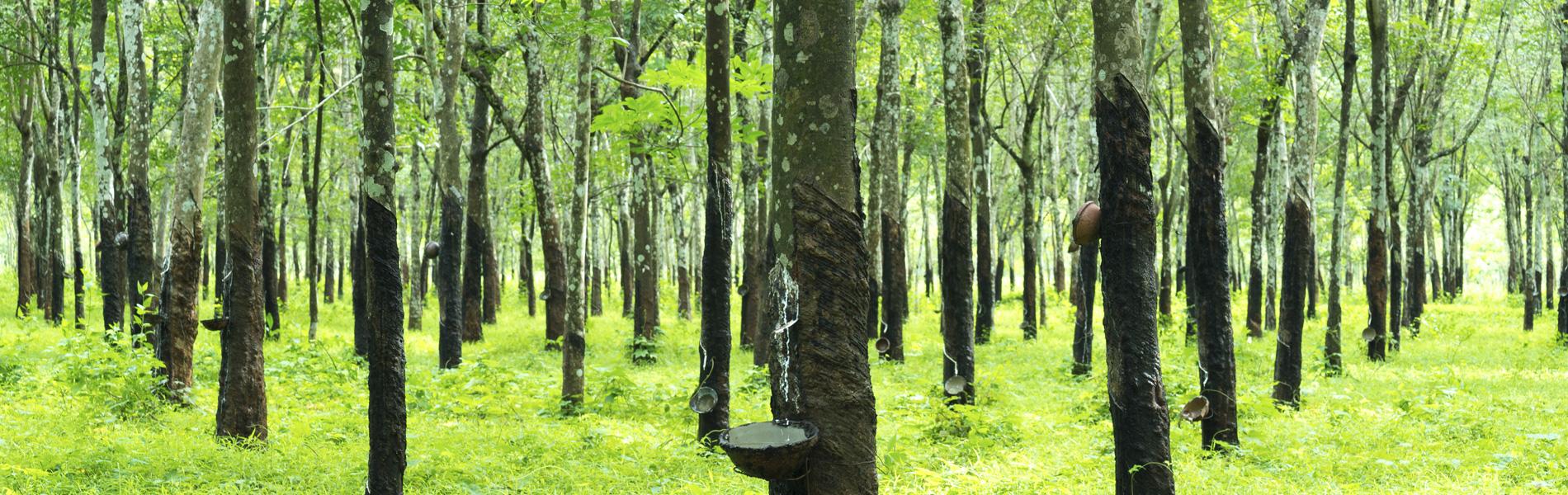forêt de l'arbre hévéa qui produit le latex naturel de nos matealas